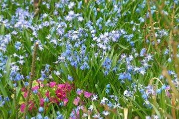 Fruehlingsbeet zwischen Rosen  Sibirischer Blaustern Scilla siberica  Schneestolz Chionodoxa luciliae
