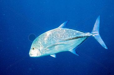 Indischer Ozean  Malediven: Blauflossen Makrele