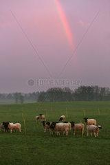 Neu Kaetwin  Deutschland  Dorperschafe unter einem Regenbogen auf einer Weide