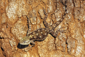 Peter's Ground Agama-resting-South Africa