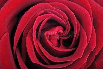 rote Rose Rosa