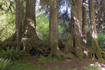 Forest  Olympic National Park  Washington  USA