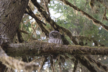 Spotted owl perched on tree branch  Olympic National Park  Washington  USA