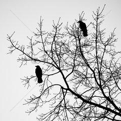 Kraehen in einer Baumkrone