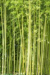 Bamboo  full frame