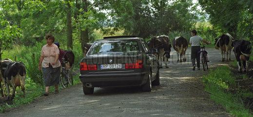 Autofahrer faehrt hinter einer Kuhherde  Polen