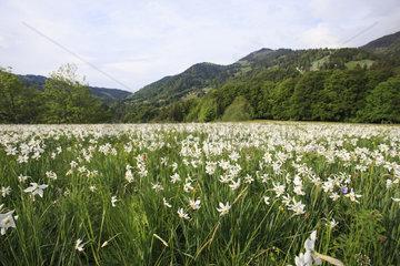 SWITZERLAND-MONTREUX-NARCISSI-BLOOM