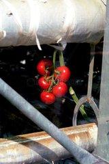 niederlaendische Tomaten