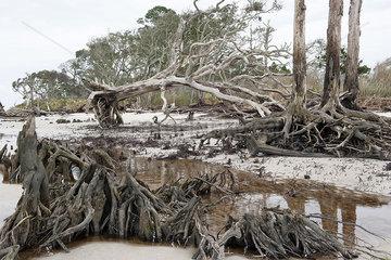 Dead trees on beach  Jekyll Island  Georgia  USA