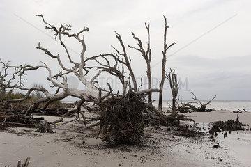Dead  uprooted trees on beach  Jekyll Island  Georgia  USA