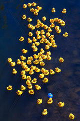 Rubber ducks  one blue duck