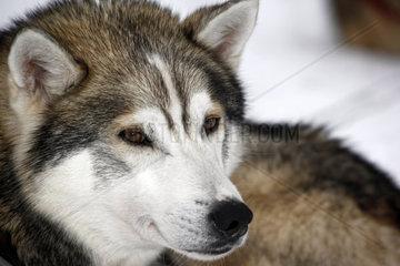Portrait eines wildfarben Huskys mit braunen Augen  Schlittenhund waehrend der Ruhepause  Lappland  Finnland