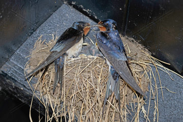 Rauchschwalben Maennchen und Weibchen am Nest