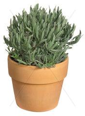 Echter Lavendel  Lavandula angustifolia  lavender