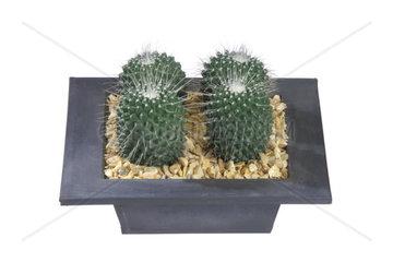 Warzenkaktus  Mammilaria spinosissima  Mammillaria spinosissima  Pincushion Cactus