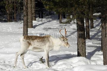Rentier im Wald  Lappland  Finnland