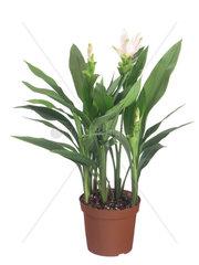 Zitwerwurzel  Kurkuma  Curcuma  Safranwurz  Curcuma alismatifolia  Curcuma zedoaria  Siam Tulips
