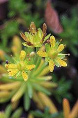 Bewimperter Steinbrech  Saxifraga aizoides