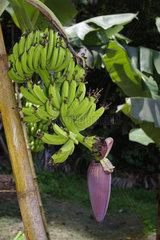 Bananenstaude auf einer Plantage auf den Seychellen