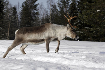 Rentier laeuft durch das verschneite Lappland  Finnland