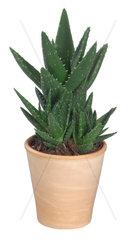 Brandaloe  Brand-Aloe  Aloe arborescens  aloe