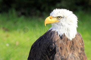 Portrait eines ausgewachsenen Wiesskopfseeadler  Seeadler mit stark gebogenem gelben Schnabel  wiessem Kopf und braunem Gefieder  Wappenvogel der USA