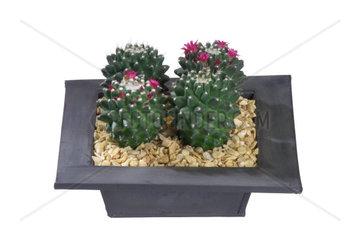 Warzenkaktus  Mammilaria magnimamma  Mammillaria magnimamma  Mexican Pincushion