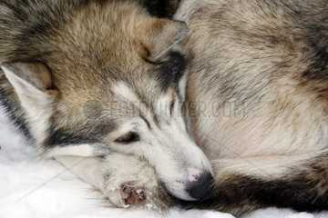 Portrait eines schlafenden wildfarben Huskys mit braunen Augen  Schlittenhund waehrend der Ruhepause  Lappland  Finnland