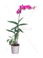 Dendrobium  Dendrobium-Hybride  dendrobium