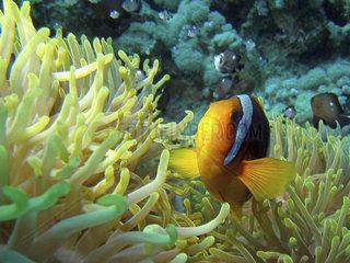 Rotes Meer  Anemonenfisch