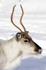 Portrait eines Rentiers im verschneiten Lappland  Finnland
