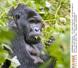 Mountain Gorilla  Gorilla berengei berengei from Bwindi Impenetrable National Park  Uganda.