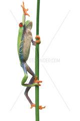Rotaugenfrosch  Rotaugen-Laubfrosch  Rotaugenlaubfrosch  Agalychnis callidryas  Maennchen klettert einen Zweig hinauf
