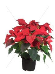 Weihnachtsstern  Poinsettie  Euphorbia pulcherrima  poinsettia