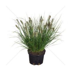 Lampenputzergras  Lampenputzer-Gras  Pennisetum alopecuroides  fountain grass