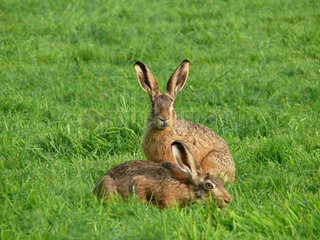 European hare  Lepus europaeus  two animals sitting in a meadow of fresh green grass