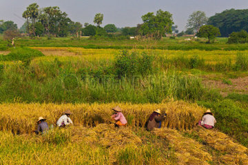FARMERS harvest RICE in historic INWA which served as the Burmese Kingdoms capitol for 400 years  MYANMAR