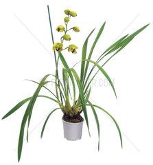 Cymbidie  Cymbidium-Hybride  cymbidium orchid  hybrid