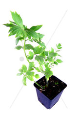 garden lovage  bladder seed  Levisticum officinale  potted plant