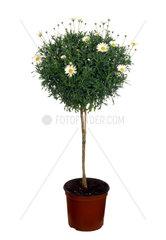Strauchmargerite  Strauch-Margerite  Argyranthemum frutescens  marguerite