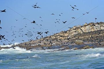 Kap Kormoran  Phalacrocorax capensis  Seal Island  False Bay  Simons Town bei Kapstadt  Western Cape  Westkap  Suedafrika  Afrika