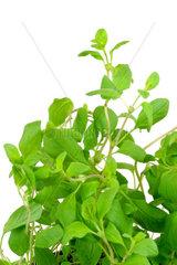 sweet marjoram  knotted marjoram  Origanum majorana  Majorana hortensis  foliage  leaves