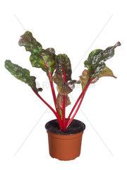 Mangold  Beisskohl  Beta vulgaris var. vulgaris  chard  Swiss chard  mangel
