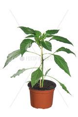 Peperoni  Capsicum annuum  peperoni