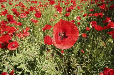 Mohnfeld  corn poppy field