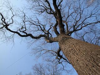 Eiche im Winter ohne Blaetter  oak without leafs