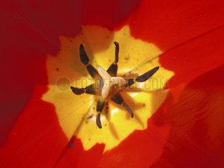 Bl__tenstempel einer Tulpe  pistil of a tulip