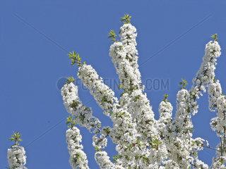 Zweige eines Kirschbaumes in voller Bluete  cherry tree