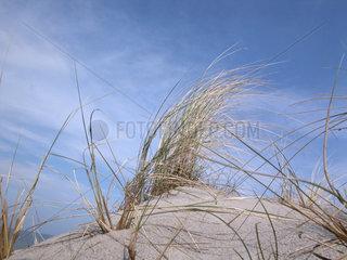 Duenengras  Gewoehnliche Strandhafer  Ammophila arenaria  European beachgrass