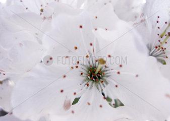 Kirschbaumbluete  cherry tree